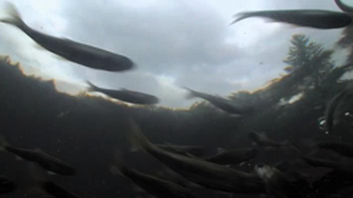 Nature | Salmon: Running the Gauntlet - Salmon's Journey