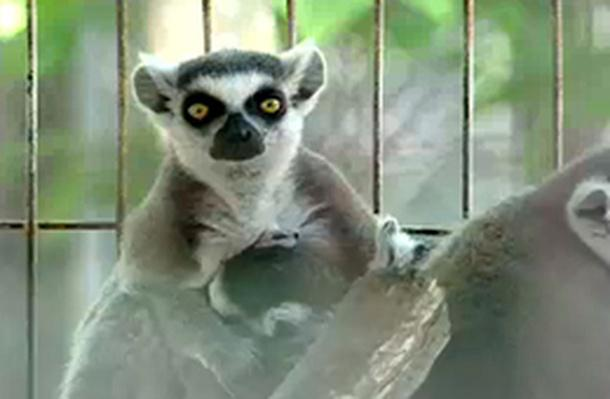 The Ring-tailed Lemur: Reproductive Isolation