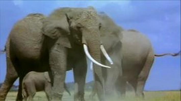 Grassland Elephants