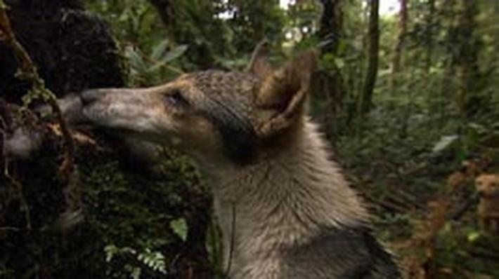 The Hunting Dogs of Papua New Guinea
