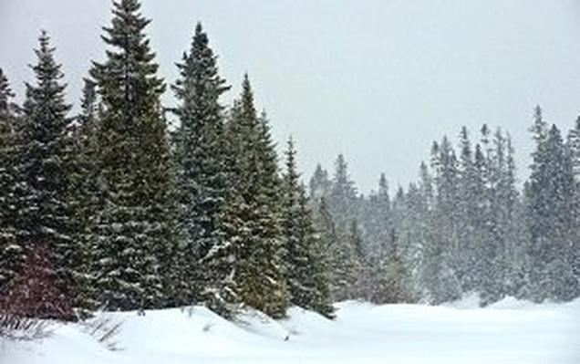 Image of snowy scene with pine trees.
