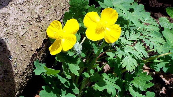 Two small yellow blooms with four petals each.