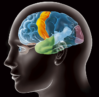 Illustration: Cerebral Cortex | Clipart