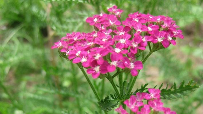Clusters of tiny pink flowers with white center