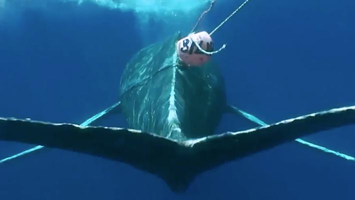 How to Disentangle a Whale | NOAA