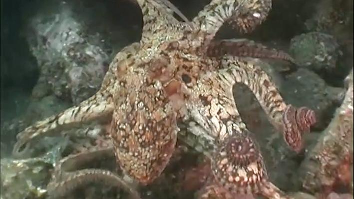 Octopus Moving Along the Ocean Floor | NOAA