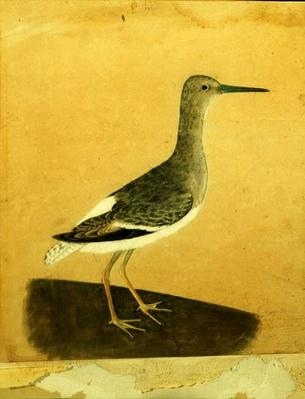 Drawing of a greater yellowlegs from 1804 by John James Audubon.