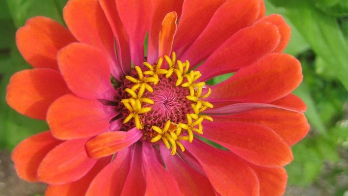 bright coral colored daisy-like floer with pink and yellow middle