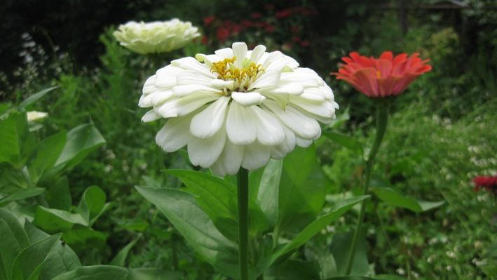 side view of two white zinnias and a bright orange zinnia, all with yellow centers