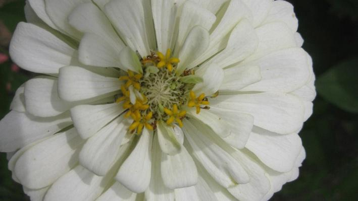 white zinnias with yellow center from above
