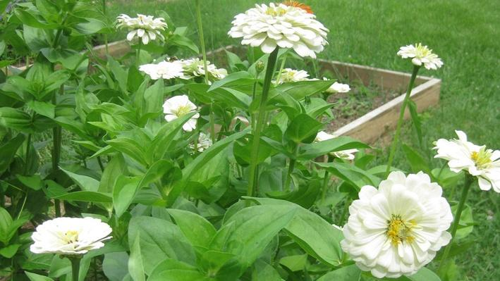 photo features a wider shot of the leafy green foliage of zinnia plants with white blooms and yellow centers