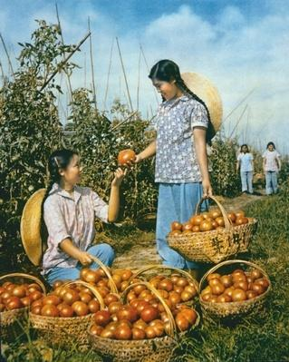 Chinese food production; ripe tomatoes, 1959