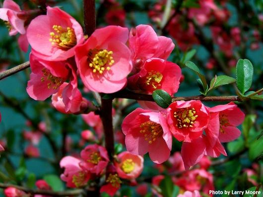 close up of hot pink flowering quince blooms with yellow centers, surrounded by shiney green leaves