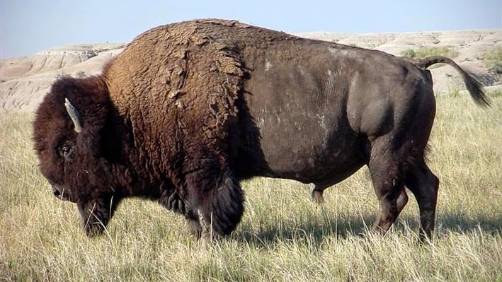 Traditional Use of Tatanka (Buffalo)