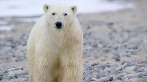 Expedition -- When the Polar Bear Encounter Became Serious   Digital Extra