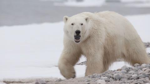 Expedition -- Warding Off a Polar Bear