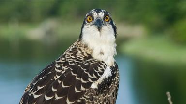 Season of the Osprey - About