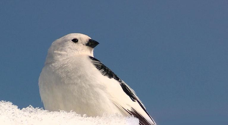 Expeditions with Patrick McMillan: Snow Bunting