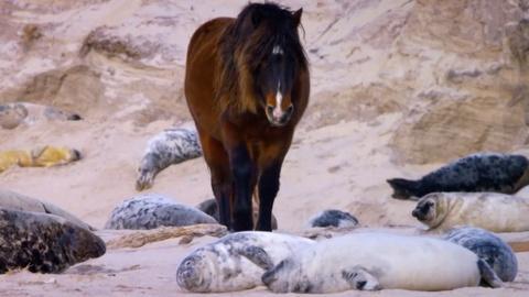Nature -- How Seals Help Wild Horses