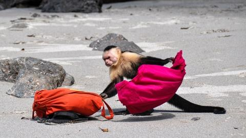 S1 E3: Capuchin Monkeys in Costa Rica Play Tourists for Food