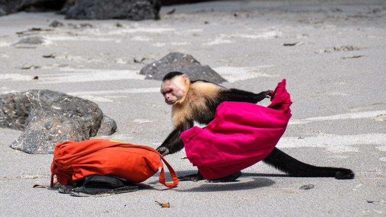 Wild Metropolis: Capuchin Monkeys in Costa Rica Play Tourists for Food