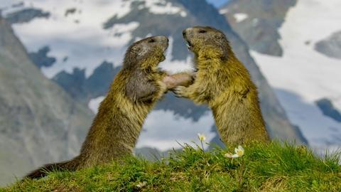 Nature -- Marmot Family vs. Deadly Eagle