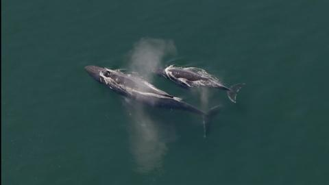 Wild Alaska Live -- Extraordinary Group Hunting By Humpback Whales