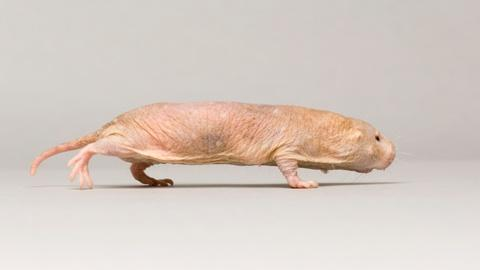 Rare -- Creature Clip: Naked Mole Rat