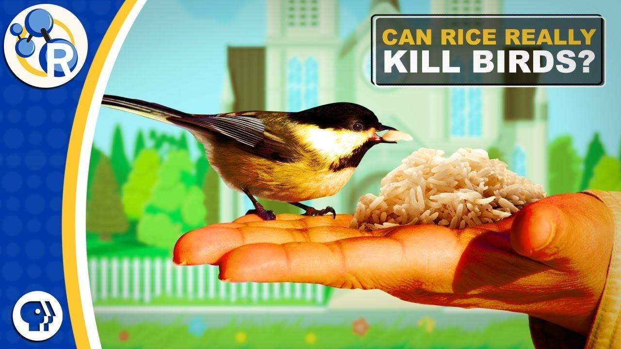 Fact Or Fiction Uncooked Rice Is Bad For Birds Season 2 Episode 11 06 2018 Reactions Pbs