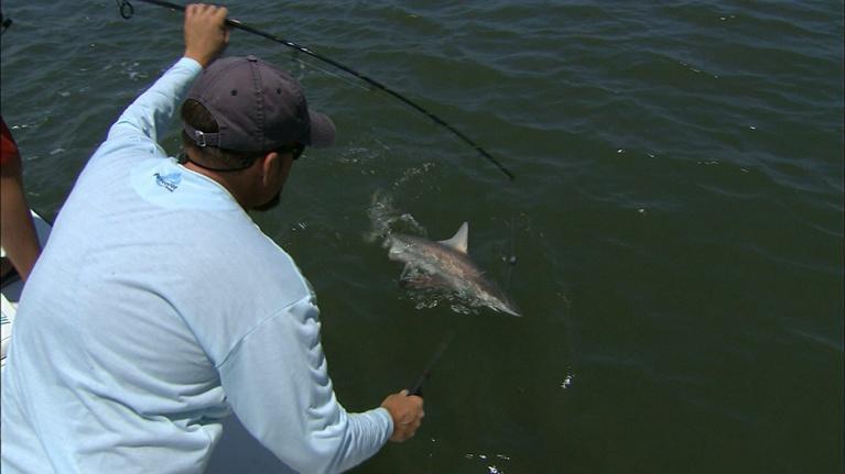 Carolina Outdoor Journal: Tidal Sharks