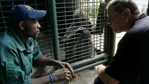 Rare -- Creature Clip: Cross River Gorilla