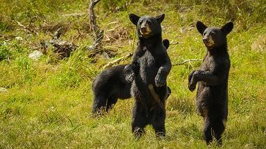 Two Bear Cubs Have a Bath