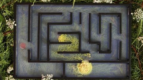 NOVA -- Brainless Slime Molds Navigate Mazes and Make Decisions