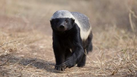 Nature -- Are Honey Badgers One Of the World's Smartest Animals?