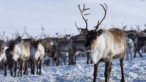 Nature -- Reindeer Cyclone