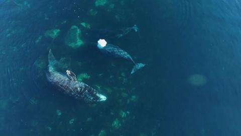 NOVA -- Using Drones to Solve 170-Year Bowhead Whale Mystery