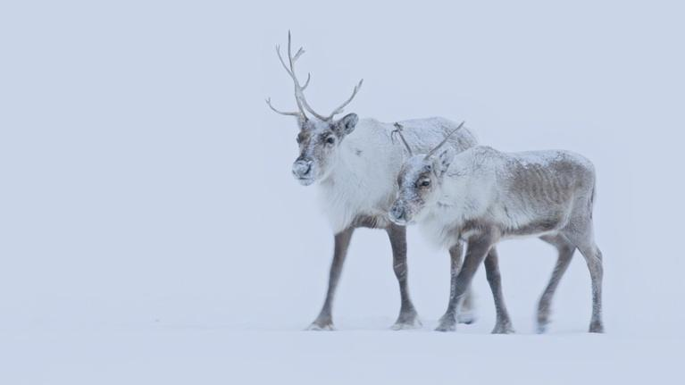 Earth's Natural Wonders: The Nenet People of Siberia Migrate with Reindeer Herds