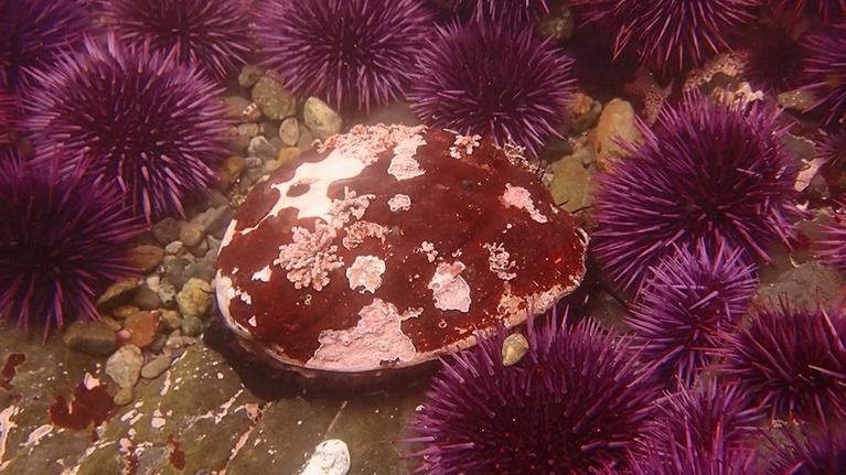 Earth Focus: Dying Oceans: Abalone Restoration In California Preview