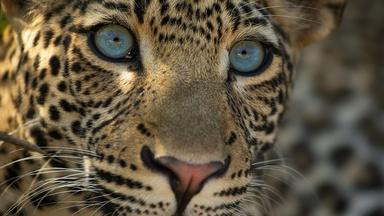 Preview of The Leopard Legacy