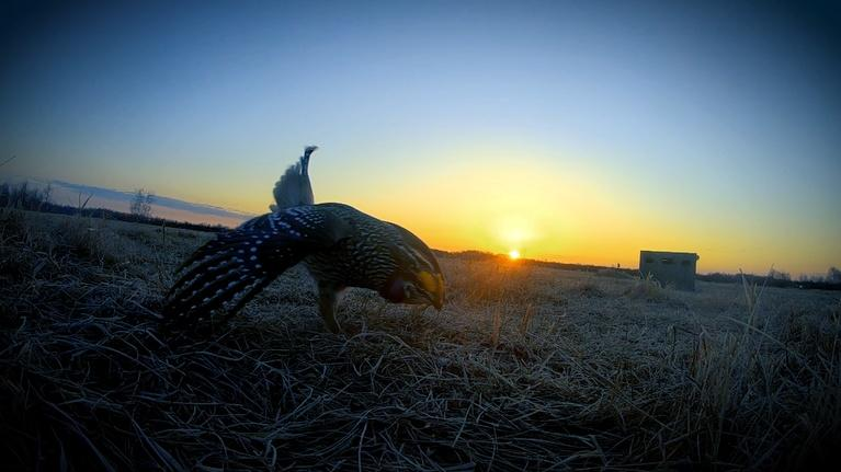 Prairie Sportsman: Birds of the Prairie