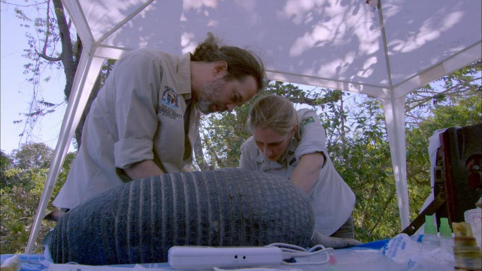 Vets Examine Giant Armadillo image