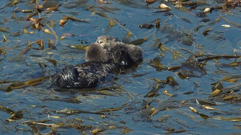 Big Pacific -- Sea Otters