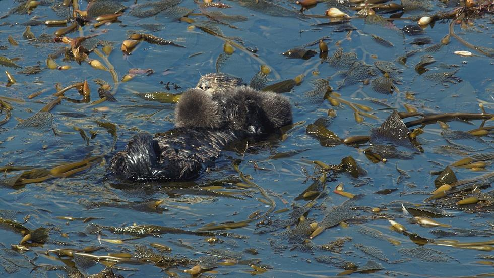 Sea Otters image