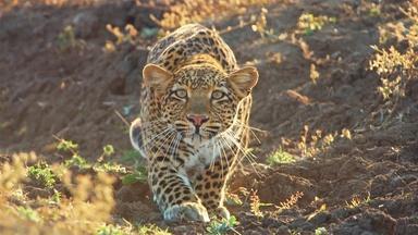 Leopard Hunts Baboon in Broad Daylight