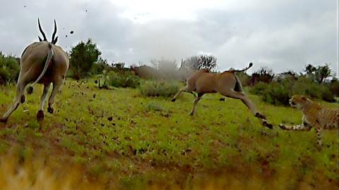 Nature -- 'Cheetah Cam' Captures Chase Through the Bush
