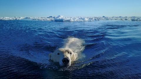 Nature -- Polar Bear Sneak Attack