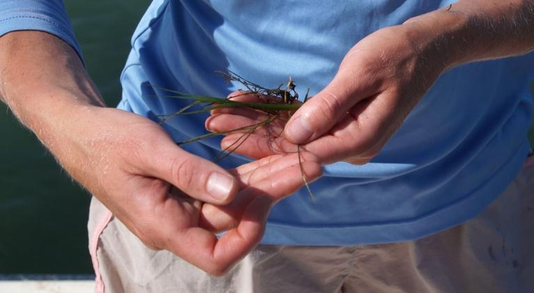SCI NC: The impact of hurricanes on valuable seagrass