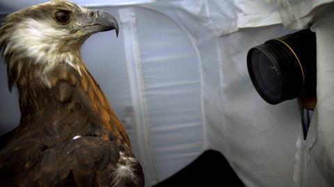 Rare -- Creature Clip: Madagascar Fish Eagle