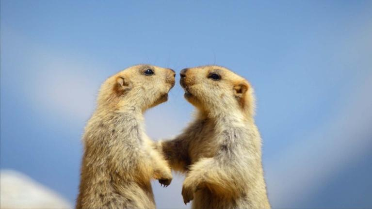 Kingdoms of the Sky: Baby Marmots Quickly Learn the Rules of the Mountain