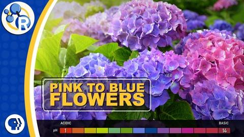 Reactions -- How Do Hydrangeas Change Colors?
